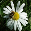 Мозаика: Ромашка (Jigsaw: Daisy Bug)
