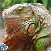 Пазлы: Игуана (Green Iguana Jigsaw Puzzle)
