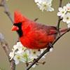 Пазл: Красная птичка (Jigsaw Red Bird)