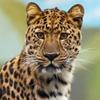 Пазл: Леопард (Jigsaw: Leopard)