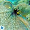 Пазл: Осьминог (Octopus Jigsaw)