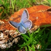 Пазл: Бабочка (Jigsaw: Blue Butterfly)