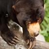 Пазл: Мишка (Jigsaw: Sun Bear)