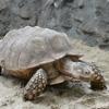 Пазл: Сухопутная черепаха (Turtle Jigsaw)