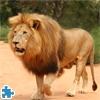 Пазл: Лев 2 (Panthera Leo)