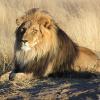 Пазл: Царь зверей (Lion Jigsaw Puzzle)