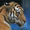 Пазл: Тигр (Jigsaw: Tiger)