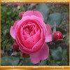 Королевство цветов: Красные розы (Kingdom of the flowers: Red rose)