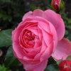 Королевство цветов: Розовые розы (Kingdom of the flowers: Pink rose)