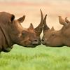 Пятнашки: Носороги (Rhinos Slider Puzzle)