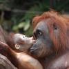 Пазл Орангутанг (Orangutan Baby Slider Puzzle)