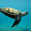 Пятнашки: Морская черепаха (Sea Turtle Slider Puzzle)
