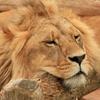 Передвижной Пазл: Лев (Male Lion Slider Puzzle)