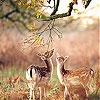 Два оленя (Two deer)