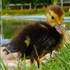 Пазл: Маленький утенок (Jigsaw: Little Duckling)