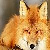 Передвижной пазл: Дикая лисица (Wild wolf slide puzzle)