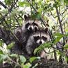 Пазл: Еноты (Jigsaw: Raccoons)