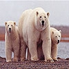 Пятнашки: Белый медведь (White bears family slide puzzle)