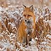 Пятнашки: Лисичка (Alone fox slide puzzle)