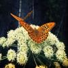 Пазл: Бабочка (Jigsaw: Butterflies)