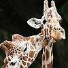 Пятнашки: Жирафы (Cute giraffes slide puzzle)