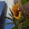 Пазл: Подсолнух в городе (Jigsaw: Sunflower in the City)