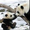 Пазл: Маленькая панда (Baby Panda)