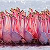 Пятнашки: Фламинго (Flamingo family slide puzzle)