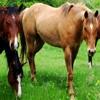 Пазл: Лошади (Jigsaw: Horses)