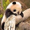 Пятнашки: Маленькие панды (Tiny panda slide puzzle)