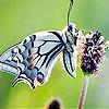 Пятнашки: Бабочка и цветок (Nice flower and butterfly slide puzzle)