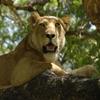 Пазл: Львица (Jigsaw: Resting Lion)