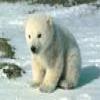 Пазл: Малыш Полярный мишка (Little Polar Bear)