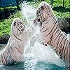 Пятнашки: Белые тигры (Spoiled tigers slide puzzle)