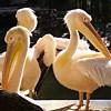 Пазл: Пеликан (Pelicans)