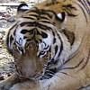 Пазл: Тигр (Tiger)