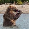 Пазл: Бурый медведь 2 (Brown Bear)