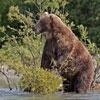 Пазл: Бурый медведь (Brown Bear)