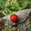 Пазл: Клубника (Strawberry)
