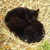 Пазл: Спящие кошки (Jigsaw: Kittens Sleeping)
