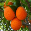 Пазл: Апельсины (Jigsaw: Oranges)