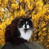 Пазл: Черно-белый кот (Jigsaw: Black and White Cat)