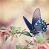 Пятнашки: Голубая бабочка (Blue butterfly slide puzzle)