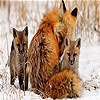 Пятнашки: Лисы (Fox family slide puzzle)