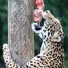 Пазл: Голодный леопард (Jigsaw: Hungry Leopard)