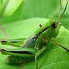 Пятнашки: Зеленый кузнечик (Green grasshopper slide puzzle)