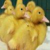 Пазл: Утята (Cute Duckling Jigsaw)