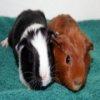 Пазл: морские свинки (Guinea Pigs Jigsaw)