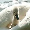Пазл: Большая белая утка (Big white duck puzzle)