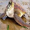 Пятнашки: Морская черепаха 3 (Big sea turtle slide puzzle)